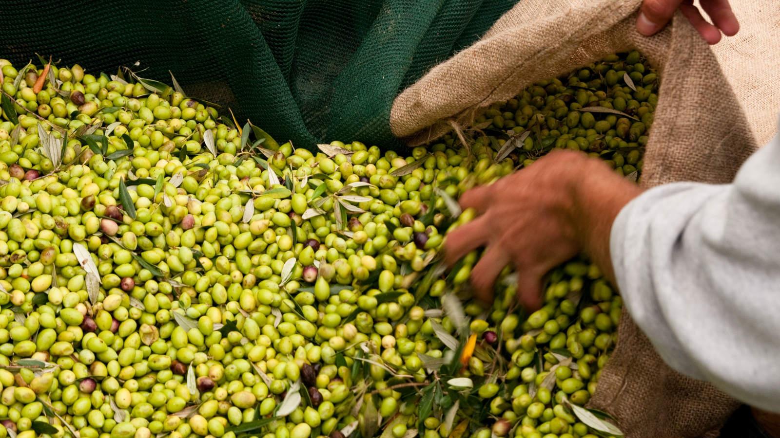 The-Irida-Resort-Suites-Messinian-Authenticity-Program-Olive-Harvesting
